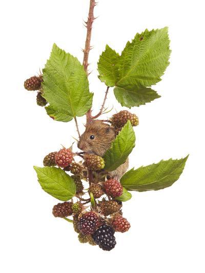 Bank Vole (Clethrionomys Glareolus) Feeding On Blackberries, Worcestershire, England-Tim Hunt-Photographic Print