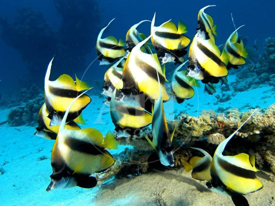 Banner Fish, St  Johns Reef, Red Sea Photographic Print by Mark Webster |  Art com