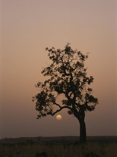 Baobab Tree (Adansonia Digitata) Silhouetted by the African Sunset-Bobby Model-Photographic Print