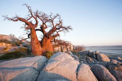 Baobab Tree at Dawn, Kubu Island, Botswana-Paul Souders-Photographic Print