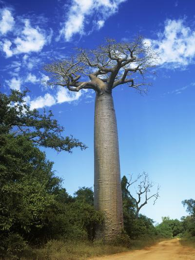 Baobab Tree--Photographic Print