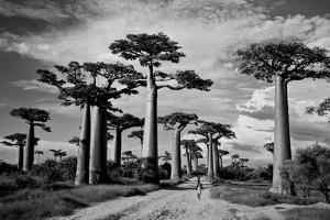 Baobab trees (Adansonia digitata) along a dirt road, Avenue of the Baobabs, Morondava, Madagascar