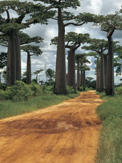 Baobab Trees Along a Dirt Road, Morondava, Madagascar (Adansonia Madagascariensis)--Photographic Print