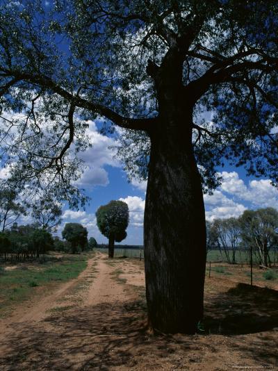 Baobab Trees Along the Dog Fence, Queensland, Australia--Photographic Print