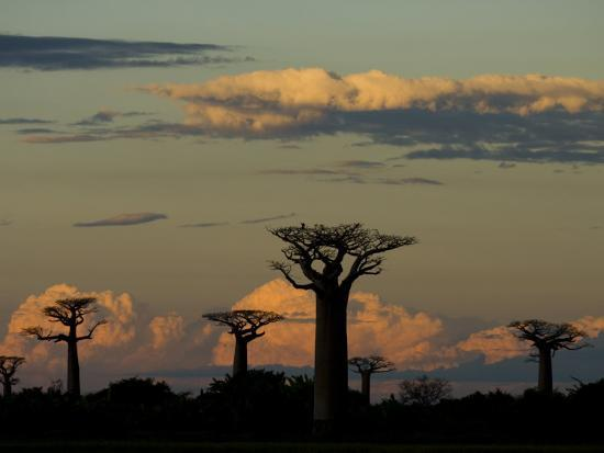 Baobab Trees in Baobabs Avenue, Near Morondava, West Madagascar-Inaki Relanzon-Photographic Print