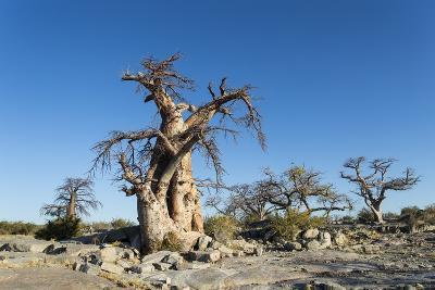 Baobab Trees, Kubu Island, Botswana-Paul Souders-Photographic Print
