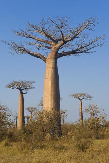 Baobabs (Adansonia Grandidieri), Morondava, Madagascar, Africa-Gabrielle and Michel Therin-Weise-Photographic Print