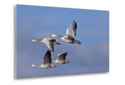 Bar Headed Geese (Anser Indicus) Group Of Four In Flight Above The Lashihai Lake-Dong Lei-Metal Print