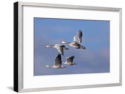 Bar Headed Geese (Anser Indicus) Group Of Four In Flight Above The Lashihai Lake-Dong Lei-Framed Photographic Print