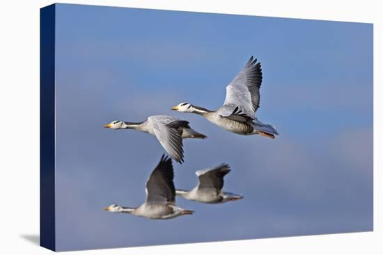 Bar Headed Geese (Anser Indicus) Group Of Four In Flight Above The Lashihai Lake-Dong Lei-Stretched Canvas Print