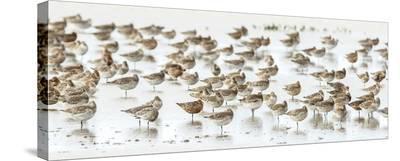 Bar-Tailed Godwit 19-Kurien Yohannan-Stretched Canvas Print