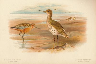 Bar-Tailed Godwit (Limosa rufa), Common Redshank (Totanus), 1900, (1900)-Charles Whymper-Giclee Print