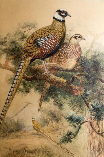 Bar-Tailed Pheasant (Phasianus Reevesi), 1852-54-Joseph Wolf-Giclee Print