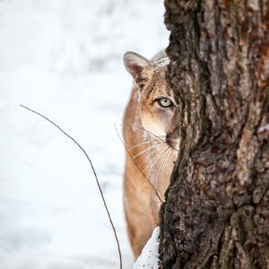 Portrait of a Cougar, Mountain Lion, Puma, Striking Pose, Winter Scene in the Woods by Baranov E