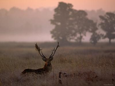 Barasingha / Swamp Deer, Male in Rut with Grass on Antler, Kanha National Park, India-Pete Oxford-Photographic Print