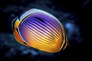 Butterflyfish by Barathieu Gabriel
