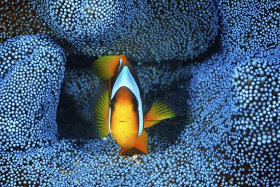 barathieu-gabriel-clownfish-in-blue-anemone