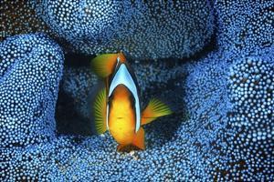 Clownfish In Blue Anemone by Barathieu Gabriel