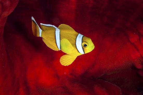 barathieu-gabriel-clownfish