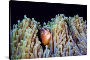 Clownfish by Barathieu Gabriel