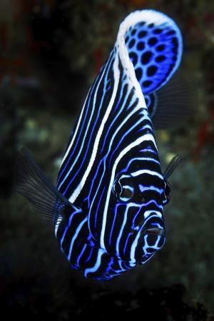 barathieu-gabriel-emperor-angelfish