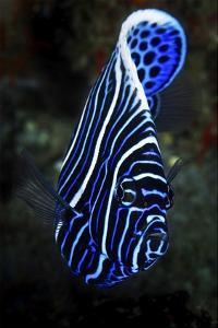 Emperor Angelfish by Barathieu Gabriel