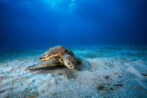Green Turtle in the Blue by Barathieu Gabriel
