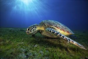 Green Turtle by Barathieu Gabriel