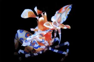 Harlequin Shrimp by Barathieu Gabriel