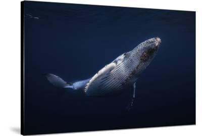Humpback Whale by Barathieu Gabriel