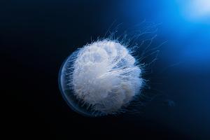 Jellyfish by Barathieu Gabriel