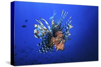 Lionfish by Barathieu Gabriel