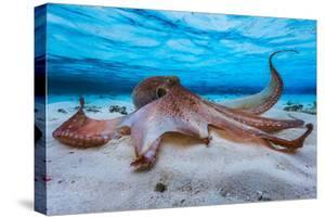 Octopus by Barathieu Gabriel
