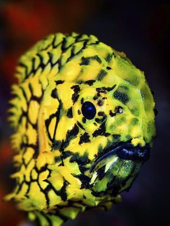 barathieu-gabriel-pineconefish