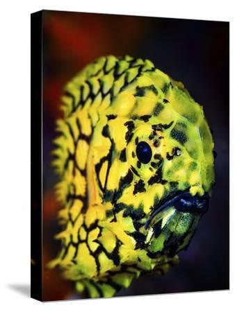 Pineconefish by Barathieu Gabriel