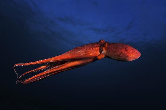 barathieu-gabriel-red-octopus