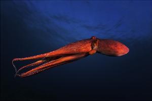 Red Octopus by Barathieu Gabriel