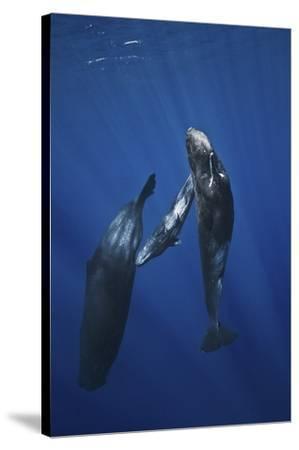 Sperm Whale Family by Barathieu Gabriel