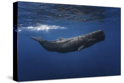 Sperm Whale by Barathieu Gabriel
