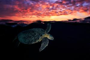 Sunset Turtle by Barathieu Gabriel