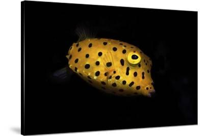 Yellow Boxfish by Barathieu Gabriel