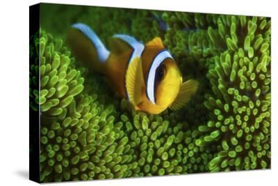 Yellow Clownfish On Green Anemon by Barathieu Gabriel