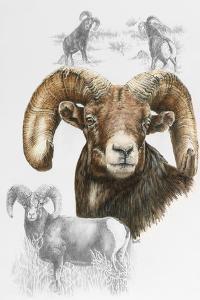 Big Horn Sheep by Barbara Keith