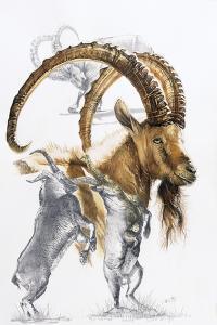 Ibex by Barbara Keith