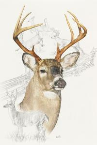 White Tailed Deer by Barbara Keith