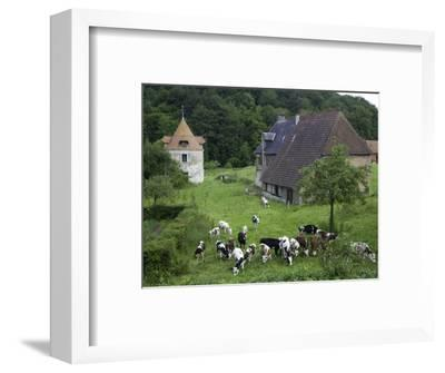 Dairy Herd of Brown and White Cows with Farm Buildings Near Blangy-Le-Chateau, Pays D'Auge