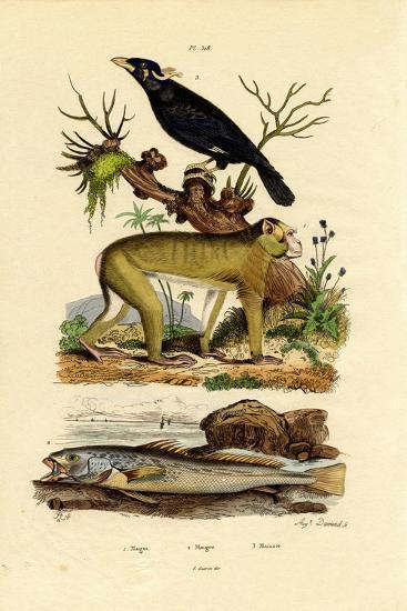 Barbary Ape, 1833-39--Giclee Print