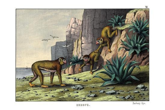 Barbary Ape, 1860--Giclee Print