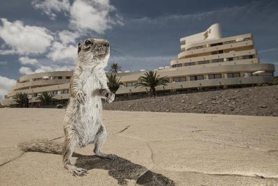 Barbary Ground Squirrel (Atlantoxerus Getulus) Outside Hotel-Sam Hobson-Photographic Print