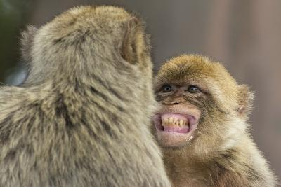 Barbary Macaque (Macaca Sylvanus) Baring Teeth as a Sign of Submission-Edwin Giesbers-Photographic Print